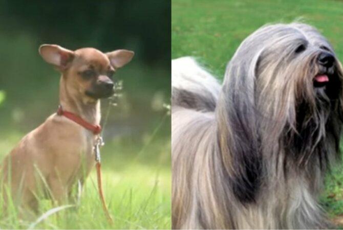 Veja quais são as raças de cachorro que vivem por mais tempo